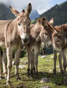 Donkeys on Bargis Alp